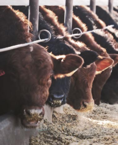 CMP sired calves on feed at Chappell, Chappell, NE.  Photo taken by Hannah Wine.